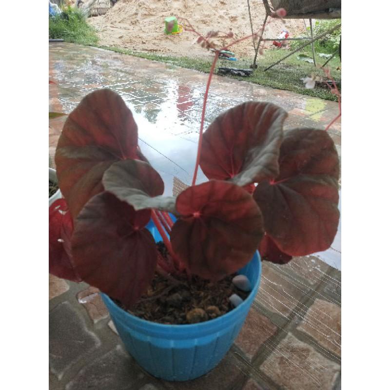 tanaman hias begonia non rex