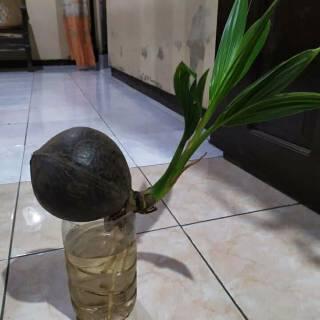 Bonsai Kelapa Minion Bonsai Barang Antik Kelapa Shopee Indonesia
