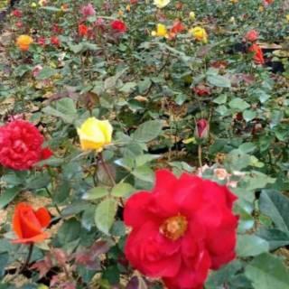 Tanaman Bunga Mawar Hidup Bisa Pilih Warna Mawar Asli Bibit Bunga Mawar Shopee Indonesia