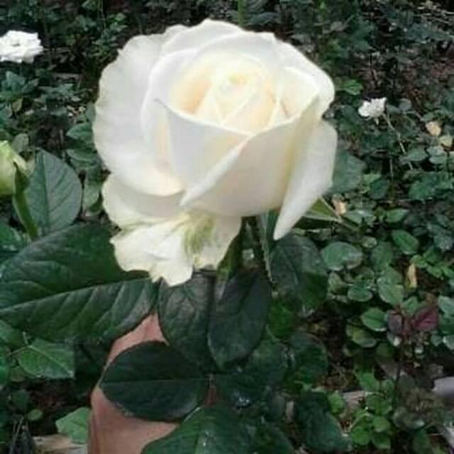 Tanaman Hias Bunga Mawar Putih Sudah Berbunga Shopee Indonesia