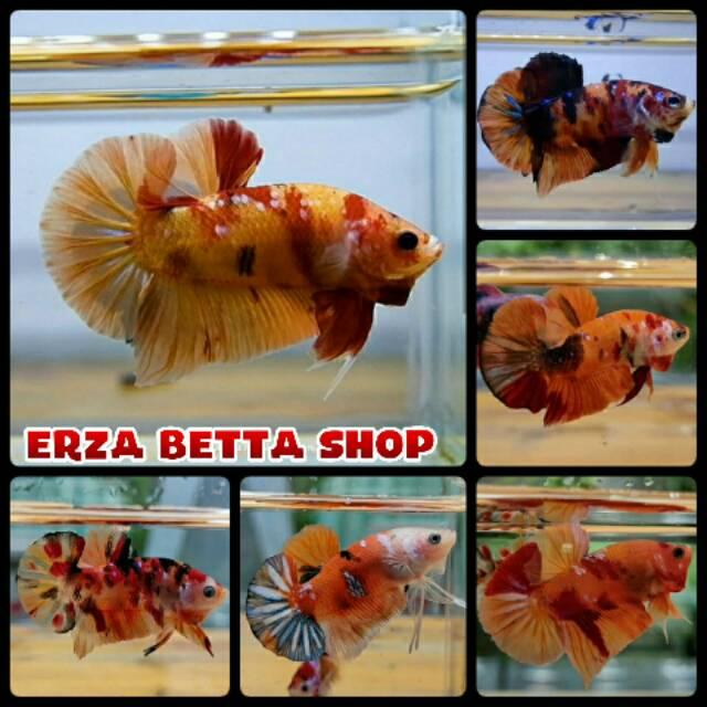 Ikan Cupang Nemo Galaxi Candy Full Blok Shopee Indonesia