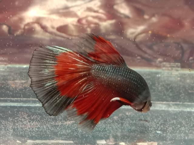 Ikan Cupang Halfmoon Hm Cendolan Eceran Shopee Indonesia