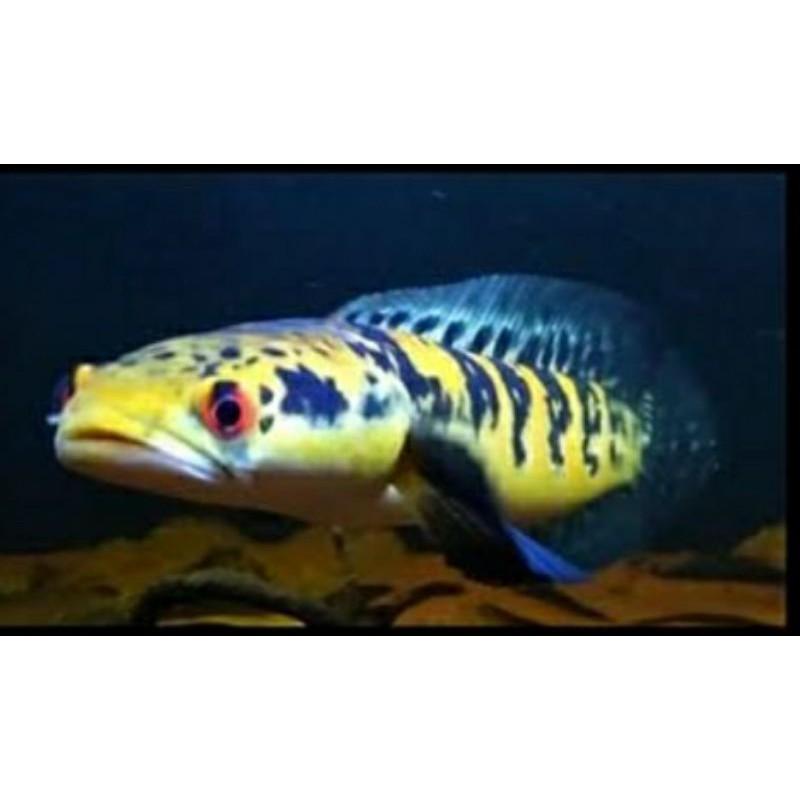 ikan channa maru yellow sentarum YS RED EYE 3cm
