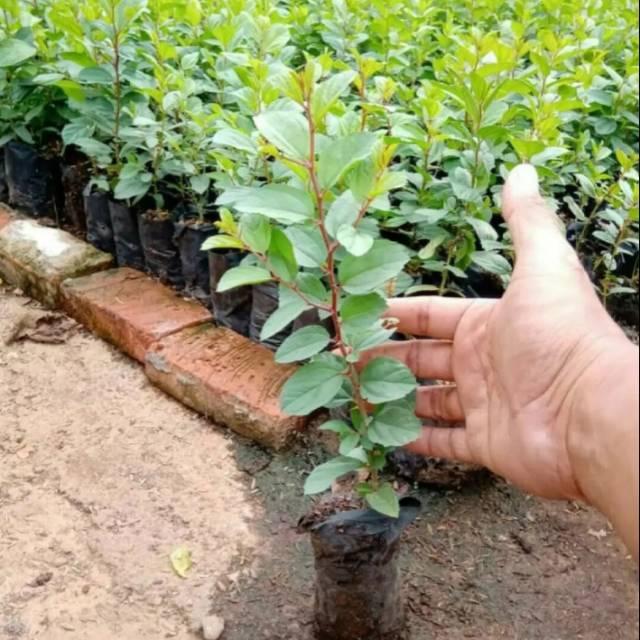 Harga tanaman bidara Terbaik - Taman Perlengkapan Rumah Maret 2021 | Shopee  Indonesia