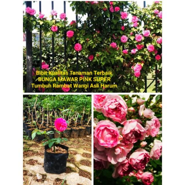 Bibit Pohon Tanaman Bunga Mawar Pink Super Wangi Harum Anti Hama Cepat Tumbuh Hias Hiasan Dekorasi Shopee Indonesia