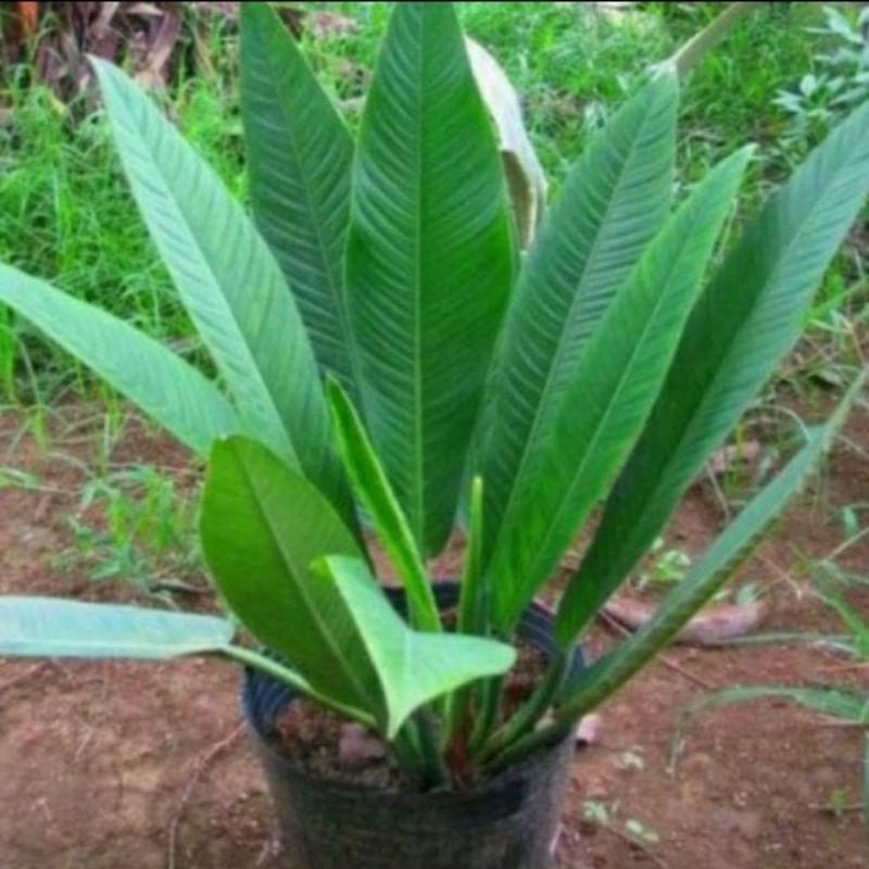 tanaman hias linet anturium