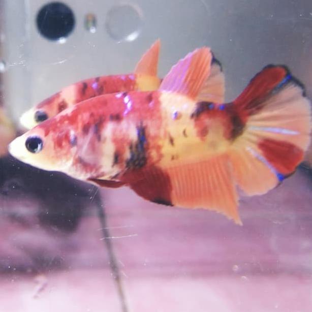 Ikan Cupang Umur 4 Bulan