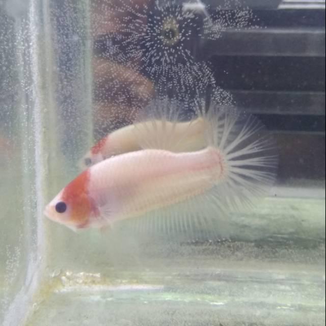 Ikan Cupang Koi Tancho Shopee Indonesia