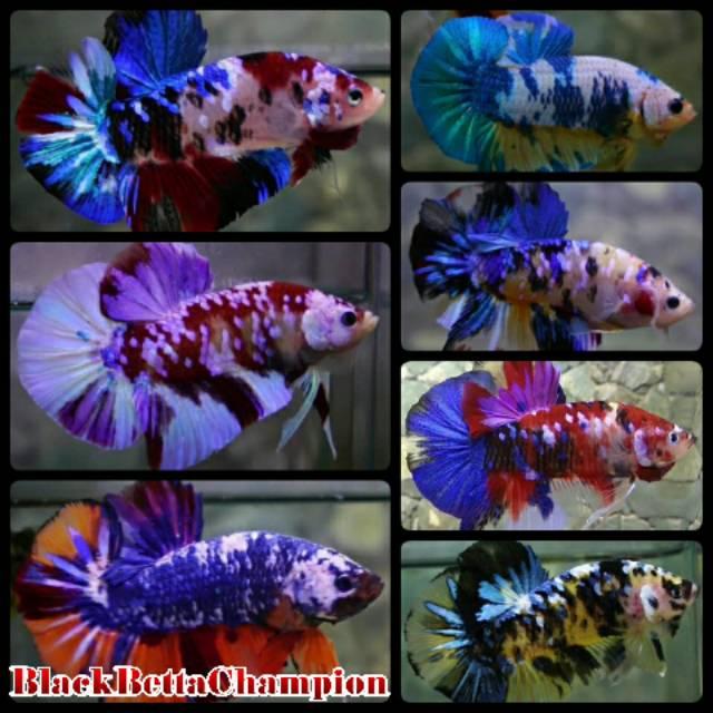 Harga Ikan Cupang Giant Terbaik Perawatan Hewan Hobi Koleksi Desember 2020 Shopee Indonesia