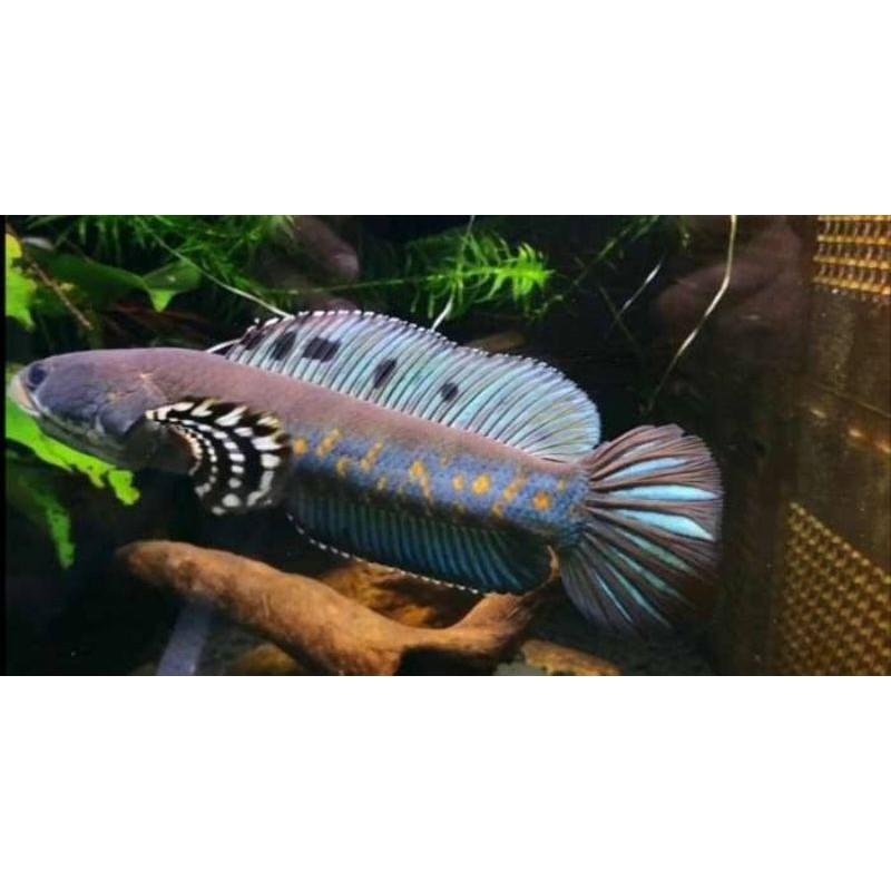Ikan Hias Chana Blue Pulchra Pulcra 5cm Predator Gabus Hiasan Akuarium Garansi Pengiriman Shopee Indonesia