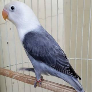 Lovebird Biola Mouve Shopee Indonesia
