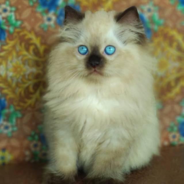 Kucing Himalaya Shopee Indonesia