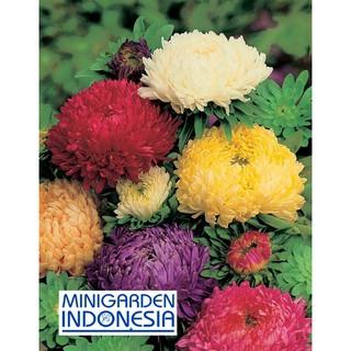 10 Benih Bunga Aster Duchess F1 mr Fothergills bibit tanaman