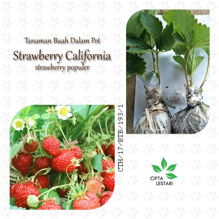 Bibit Strawberry California Merah - Tanaman Buah Pot - Pohon Strawbery | Shopee Indonesia