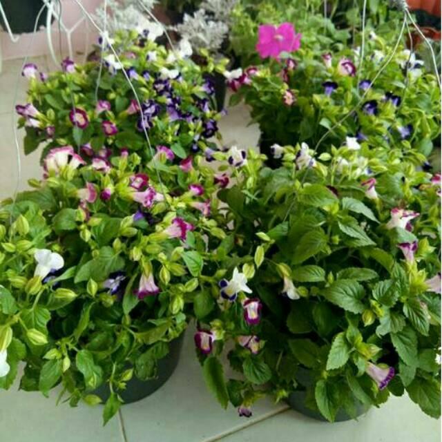 Bunga Torenia Bunga Hias Bunga Gantung Shopee Indonesia