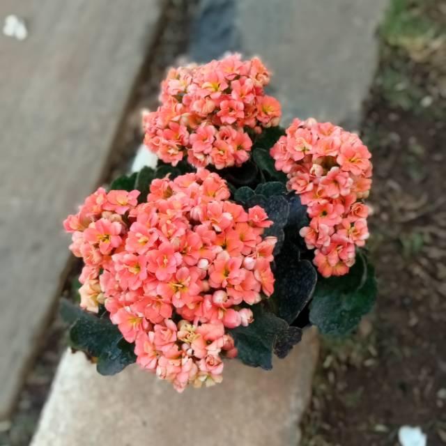 Bunga Caladiva Tanaman Hias Bunga Cocor Bebek Bunga Hidup Cantik Pot Shopee Indonesia