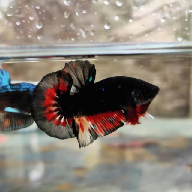 Ikan Cupang Black Combi Nemo Shopee Indonesia