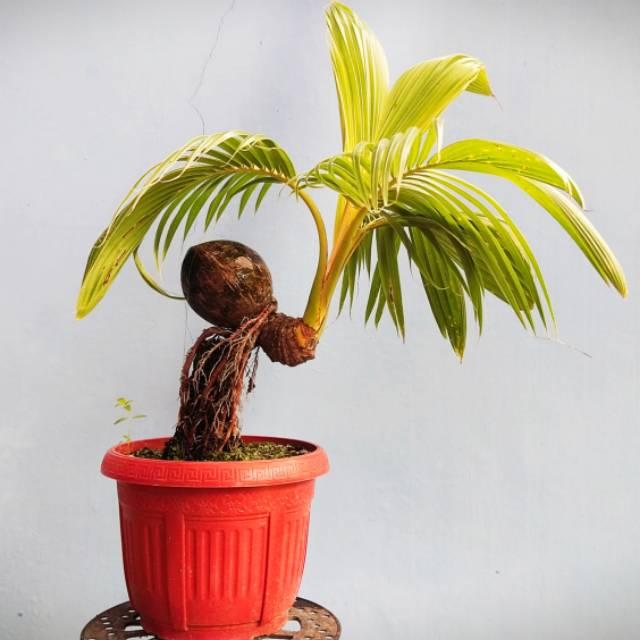 Bonsai Kelapa Gaya Pantai Shopee Indonesia