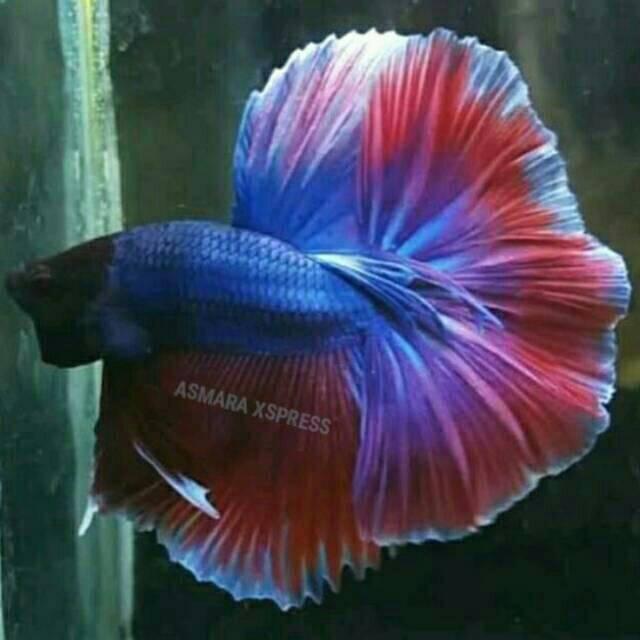 Harga Ikan Cupang Jatinegara Terbaik Desember 2020 Shopee Indonesia