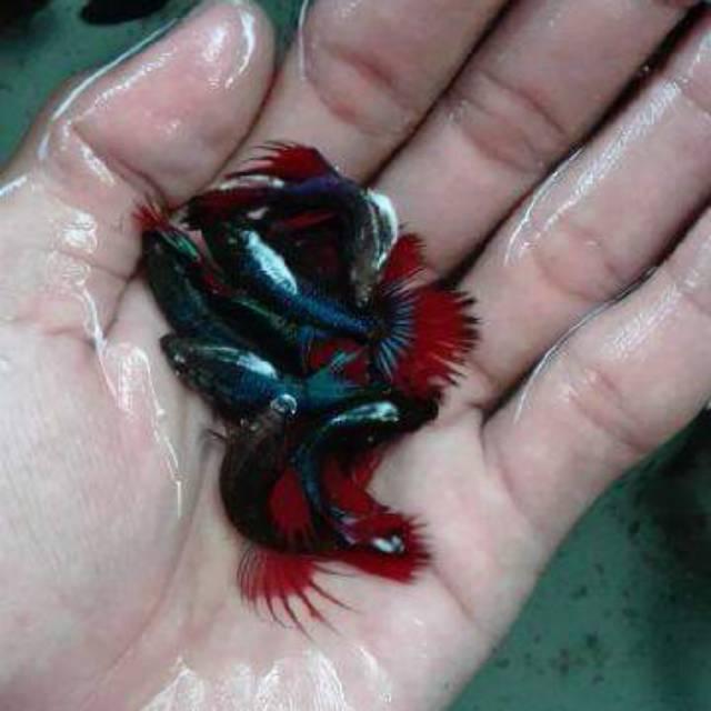Ikan Cupang Hias Jenis Serit Ct Murah Grosir Sz S Shopee Indonesia