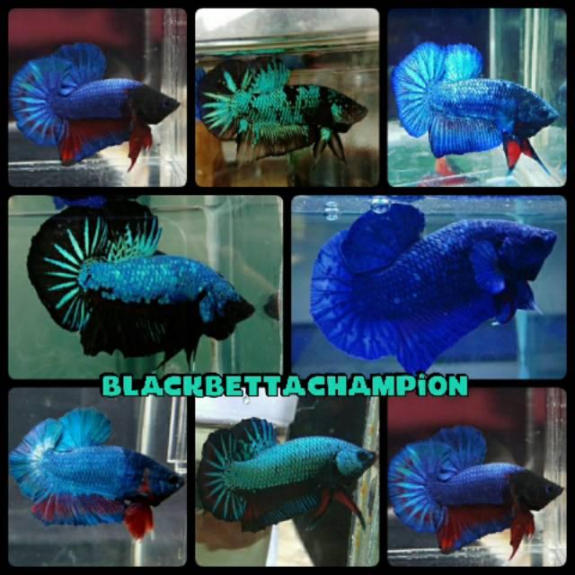 Ikan Cupang Bbl Avatar Gordon Proses Mutasi Warna Shopee Indonesia