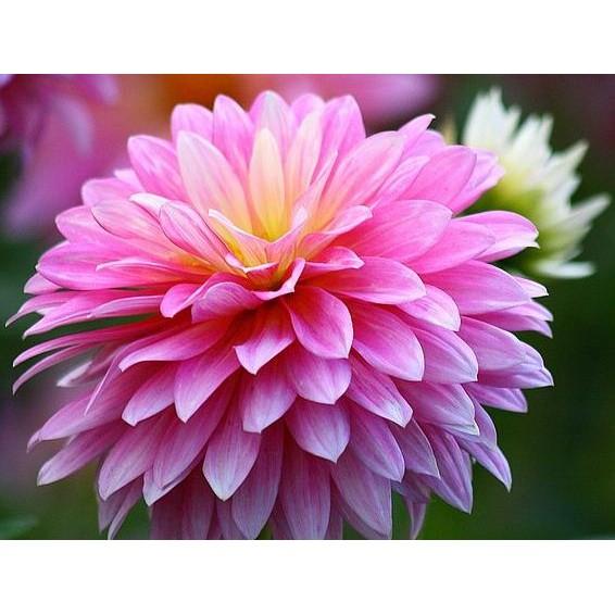 Download 1040+ Gambar Bunga Dahlia Dari Atas Paling Cantik