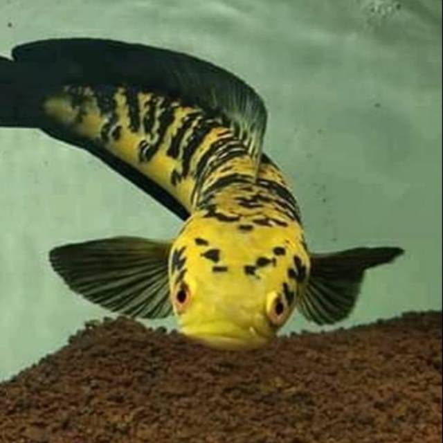 Channa Maru Yellow Sentarum Red Eye Size 12cm Shopee Indonesia