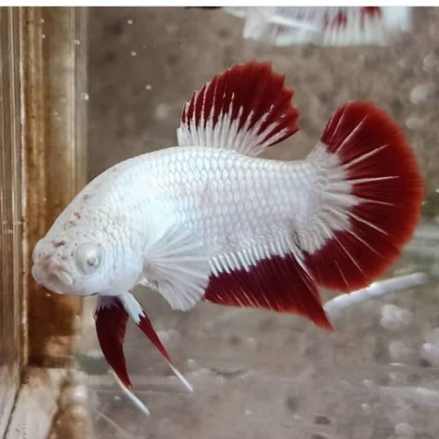 Cupang Betta White Dragon Ukuran Random Shopee Indonesia