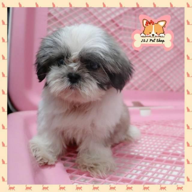 Mini Shihtzu Betina Puppy Mungil Shopee Indonesia