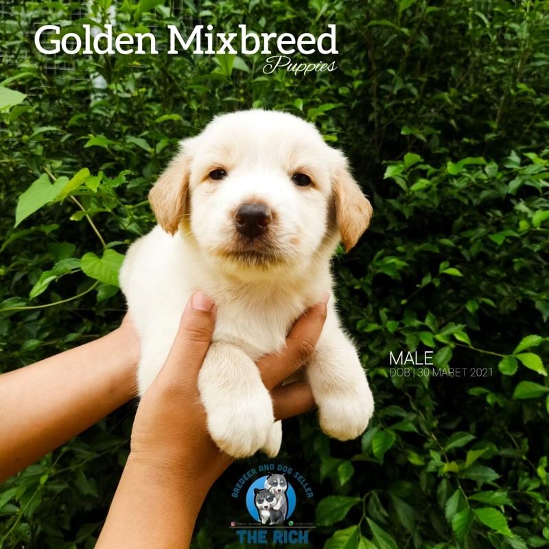 jual anjing golden mix samo
