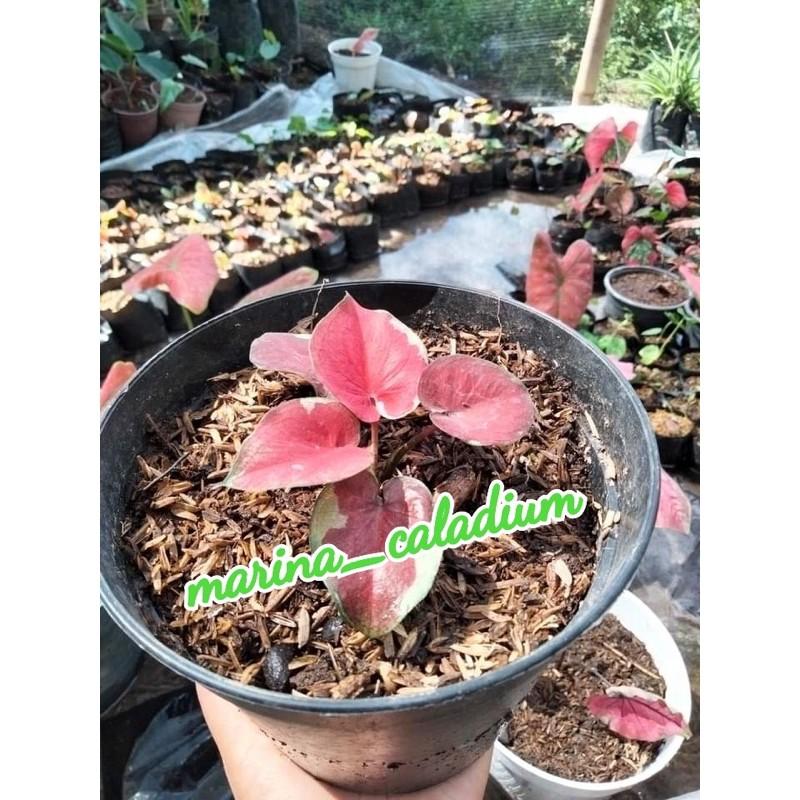 Caladium dwi warna anakan daun 2