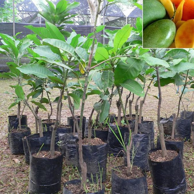 Asli Bibit Mangga Manalagi Pohon Mangga Bibit Buah Mangga Manalagi Asli Shopee Indonesia