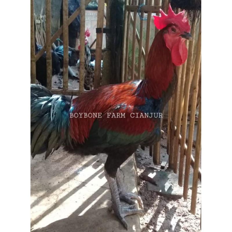 Ayam Pelung Asli-kokok panjang postur jumbo