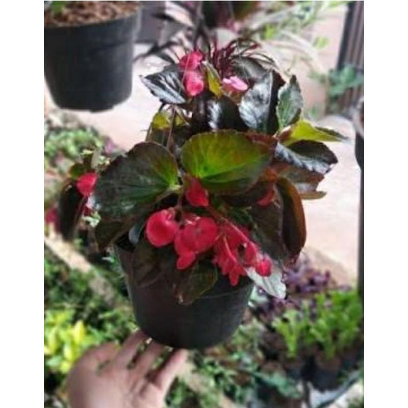 begonia mawar bunga begonia tumpuk