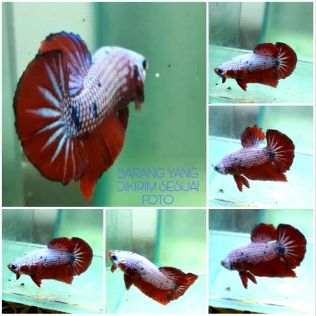 Ikan Cupang Fccp Fancy Choper Plakat Red Dragon Vietnam Ori Star Tail Shopee Indonesia