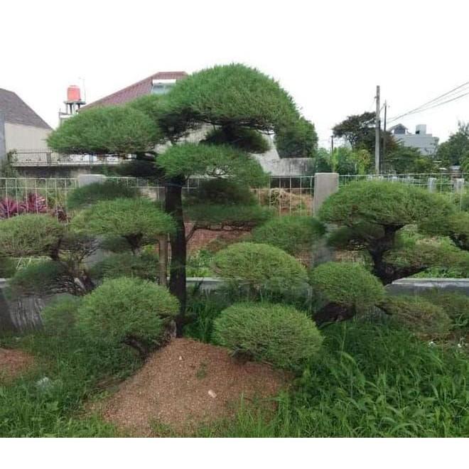 Download 92 Gambar Bunga Pohon Cemara HD Gratid