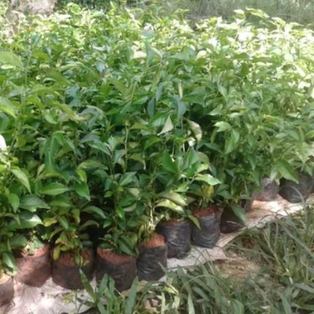Tanaman Teh Tehan Tanaman Pagar Teh Tehan Pohon Teh Tehan Pohon Tetehan Pohon Pagar Tetehan Shopee Indonesia