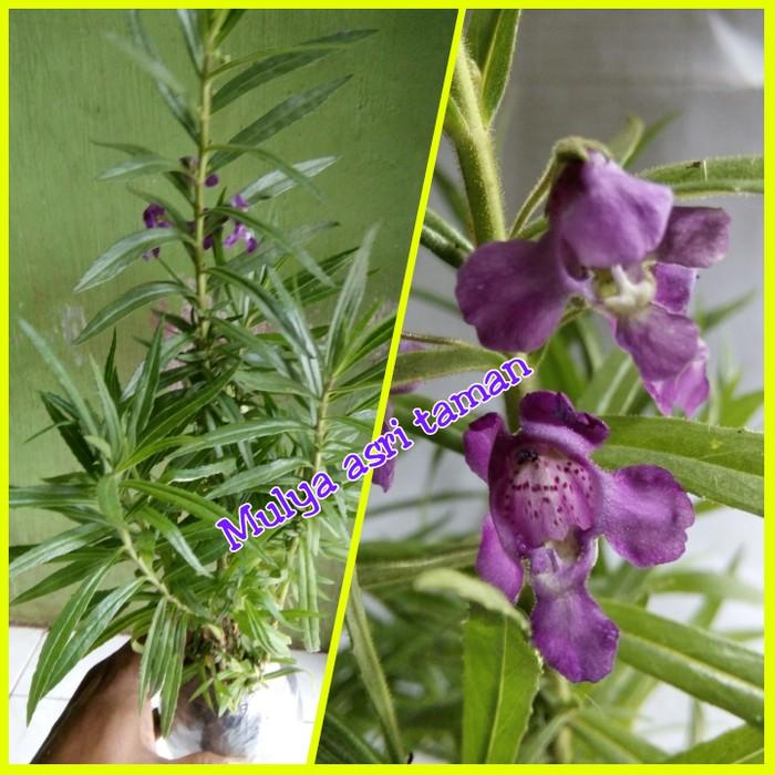 Bibit Tanaman Bunga Lavender Tanaman Lavender Anti Nyamuk Shopee Indonesia
