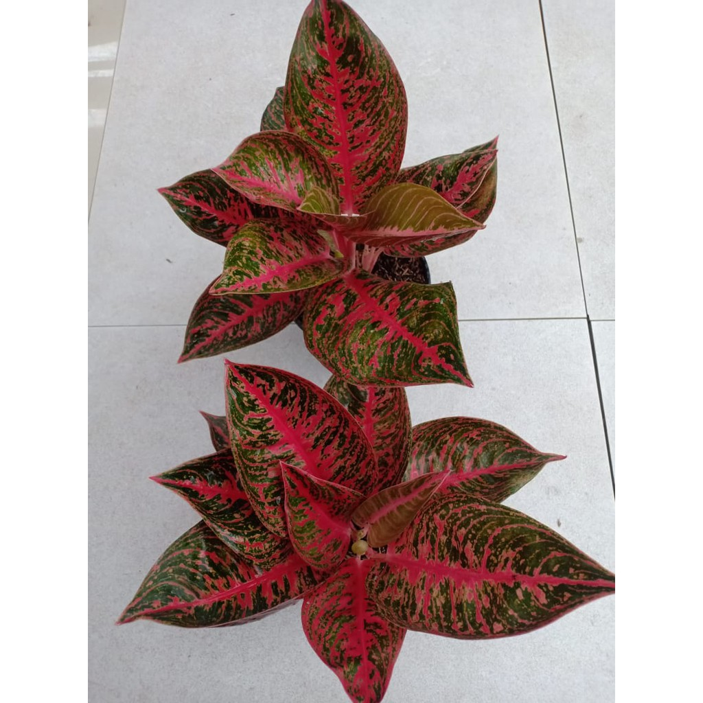 REANITA - Tanaman Hias Aglaonema Aglonema | Shopee Indonesia