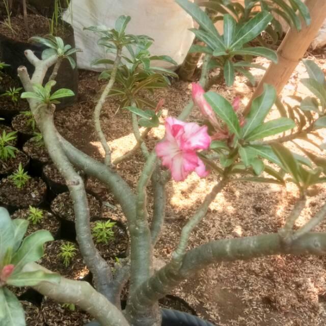 Tanaman Kamboja Jepang Adenium Bunga Pink Tumpuk Shopee Indonesia