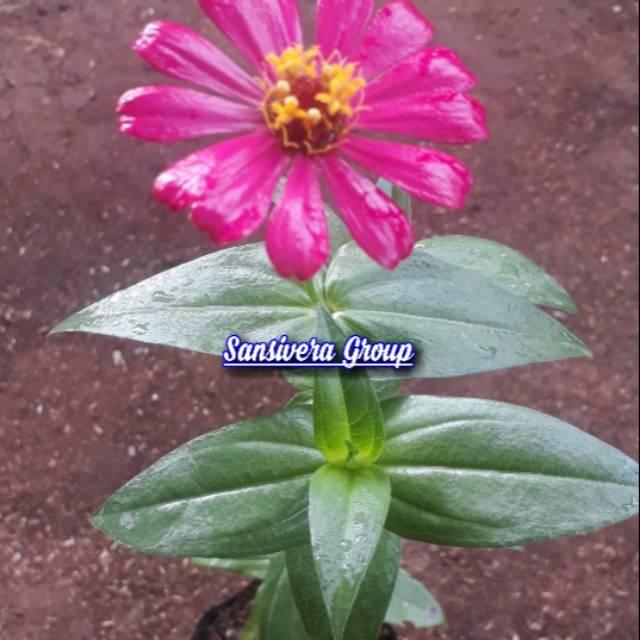 Tanaman Zinia Zinnia Bunga Dahlia Pink Shopee Indonesia
