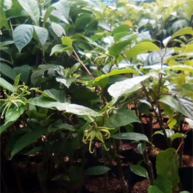 Bunga Kenanga Sudah Berbunga Bibit Bunga Bunga Kenanga Shopee Indonesia