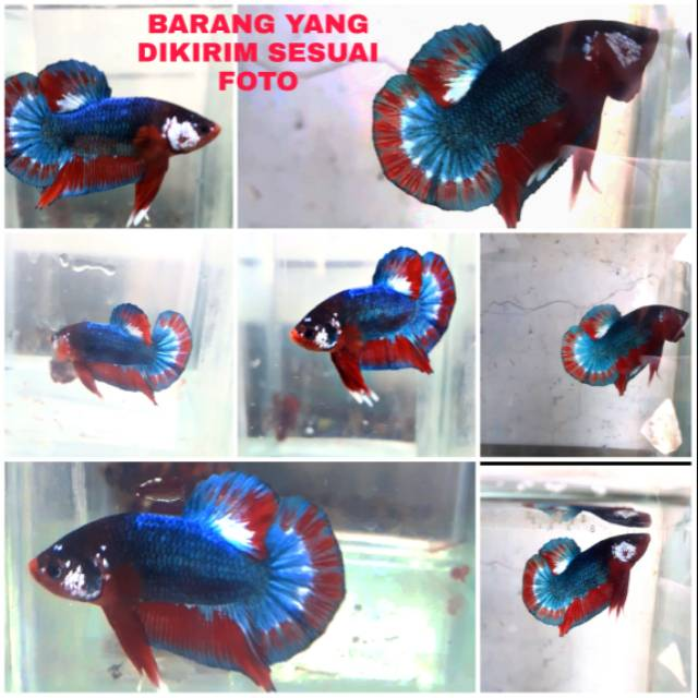 Ikan Cupang Fccp Fancy Choper Plakat Blue Base Black Head Vietnam Ori Shopee Indonesia