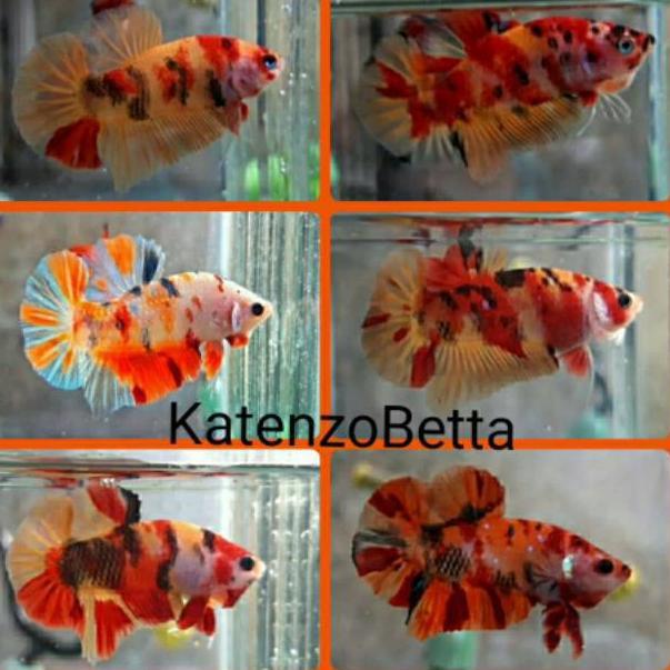 Ikan Cupang Nemo Emerald Candy Kode 9755 Shopee Indonesia