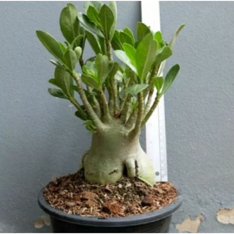 BONSAI ADENIUM ARABICUM- bibit tanaman bonsai adenium arabicum