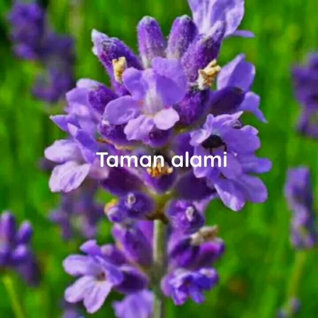 Tanaman Herbal Bunga Lavender Angelonia Tanaman Hias Bunga Lavender Ungu Shopee Indonesia