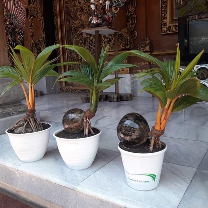 Bonsai Kelapa Shopee Indonesia