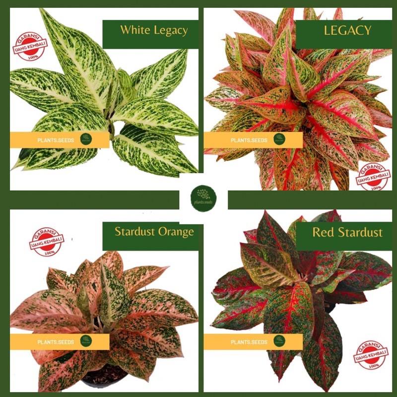 Paket 4 bibit bonggol bunga aglonema murah WHITE LEGACY, RED LEGACY, STARDUST ORANGE, RED STARDUST