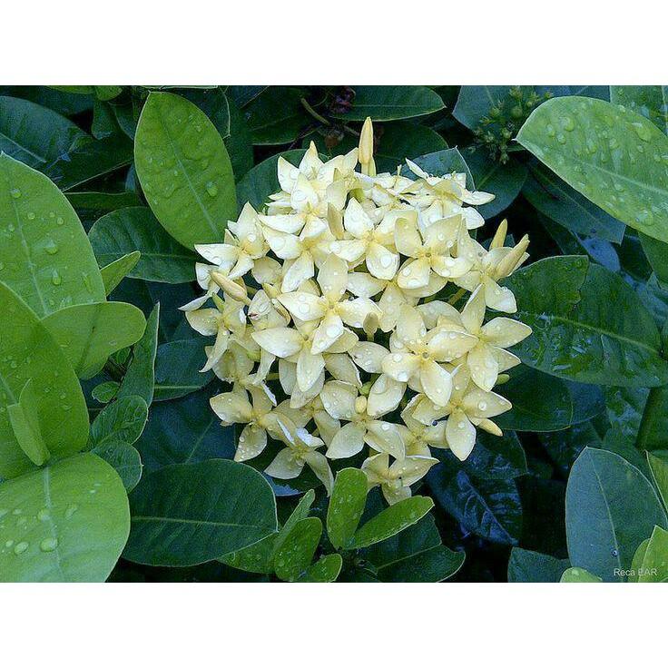 Bunga Asoka Soka India Warna Putih Murah Shopee Indonesia
