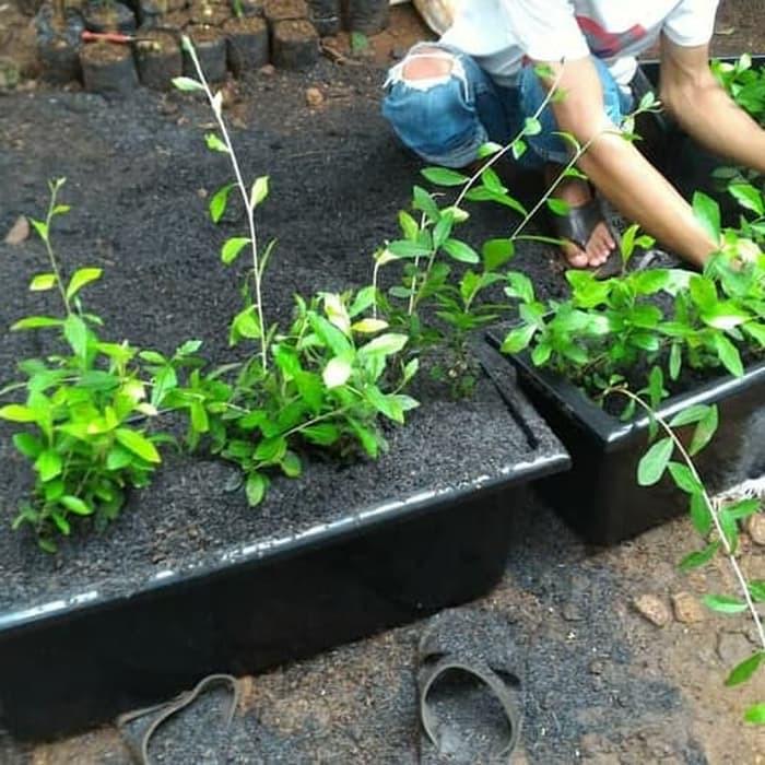 Pot Plus Tanaman Lee Kwan Yew Pot Panjang Untuk Atap Shopee Indonesia